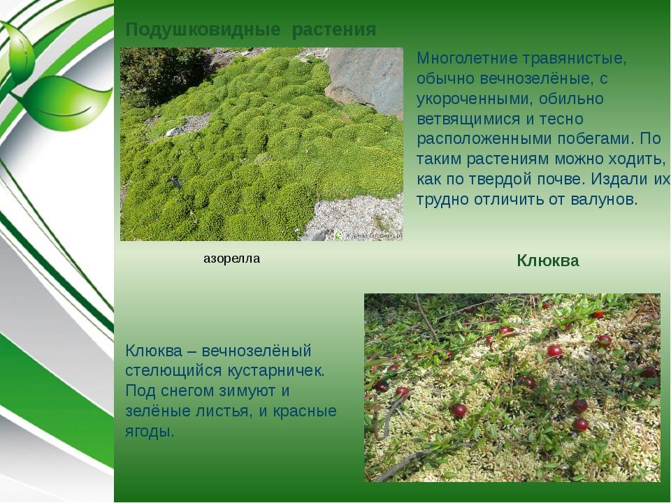 Подушковидные растения Клюква Многолетние травянистые, обычно вечнозелёные, с...