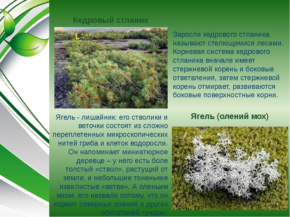 Кедровый стланик Ягель (олений мох) Ягель - лишайник: его стволики и веточки...