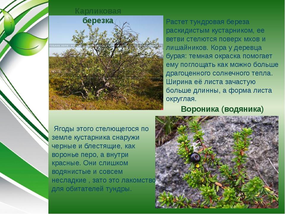 Карликовая березка Растет тундровая береза раскидистым кустарником, ее ветви...