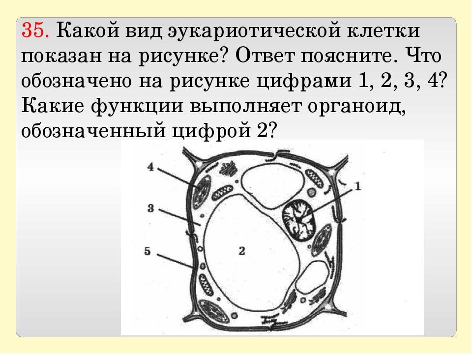 35. Какой вид эукариотической клетки показан на рисунке? Ответ поясните. Что...
