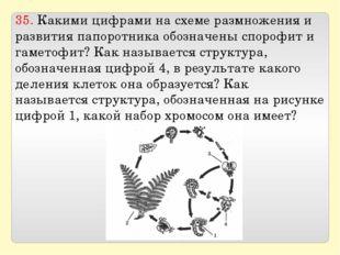 35. Какими цифрами на схеме размножения и развития папоротника обозначены спо