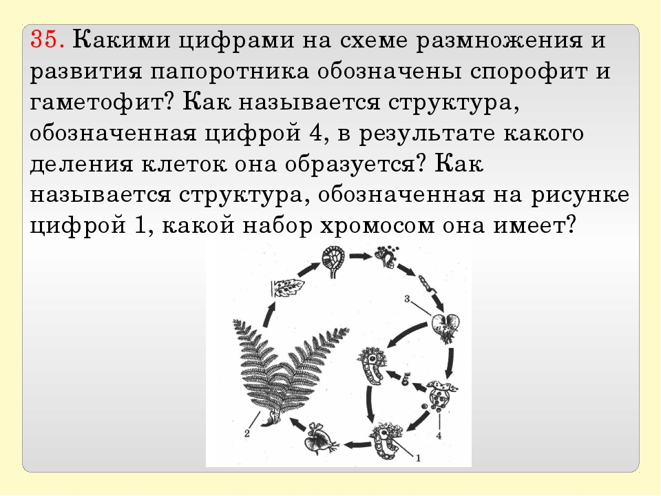 35. Какими цифрами на схеме размножения и развития папоротника обозначены спо...