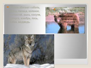 В тайге обитают соболь, белка, лисица, колонок, горностай, рысь, косуля, каб