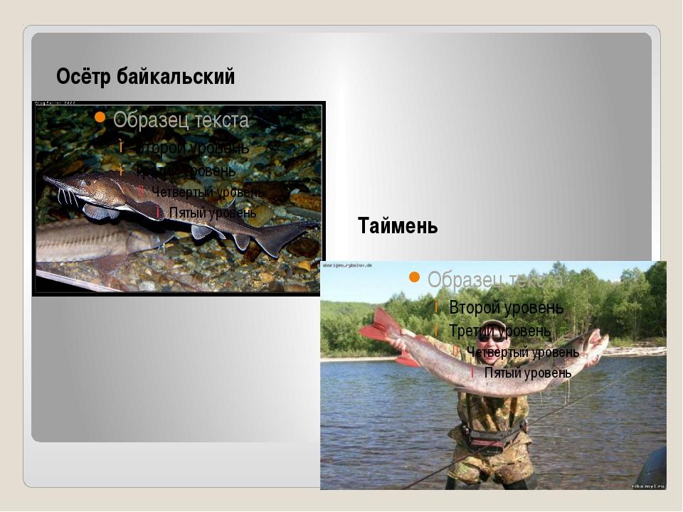 Осётр байкальский Таймень