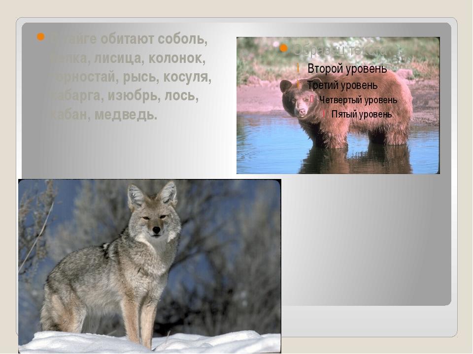 В тайге обитают соболь, белка, лисица, колонок, горностай, рысь, косуля, каб...