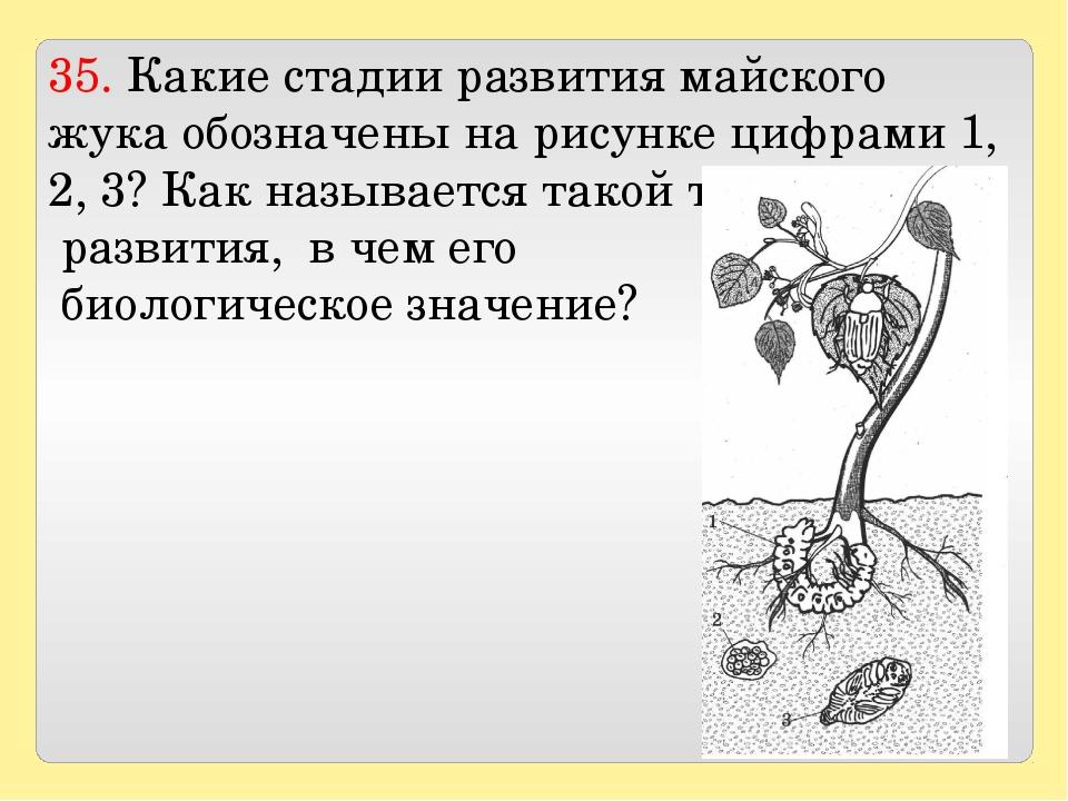 35. Какие стадии развития майского жука обозначены на рисунке цифрами 1, 2, 3...