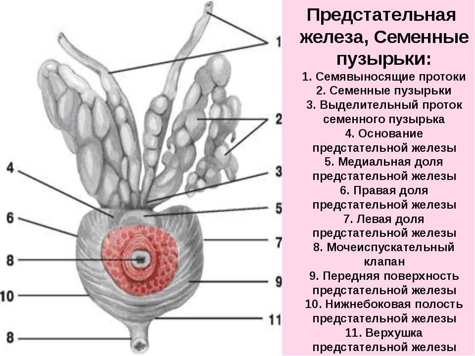 простата и семенные пузырьки