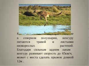 Как олени и антилопы, проживающие в северном полушарии, кенгуру питаются тра