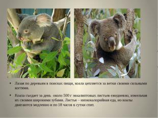 Лазая по деревьям в поисках пищи, коала цепляется за ветки своими сильными ко