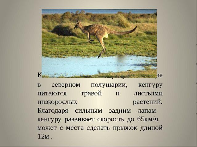 Как олени и антилопы, проживающие в северном полушарии, кенгуру питаются тра...