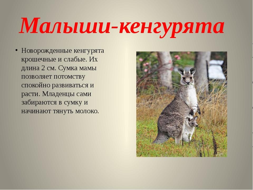 Малыши-кенгурята Новорожденные кенгурята крошечные и слабые. Их длина 2 см. С...