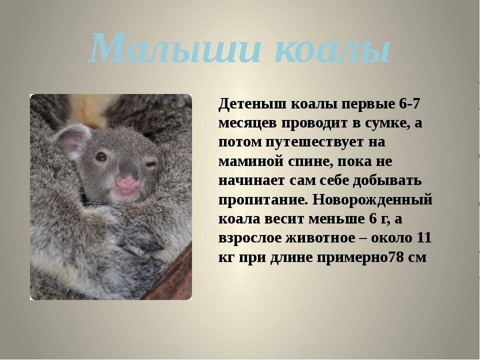 Детеныш коалы первые 6-7 месяцев проводит в сумке, а потом путешествует на ма...