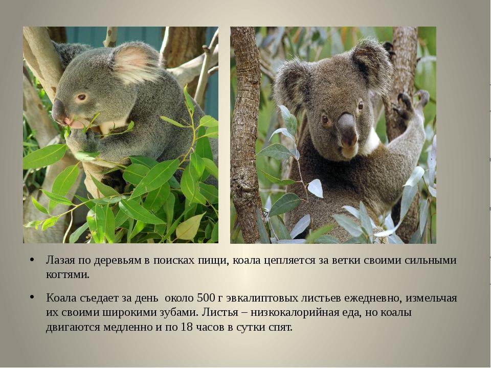 Лазая по деревьям в поисках пищи, коала цепляется за ветки своими сильными ко...