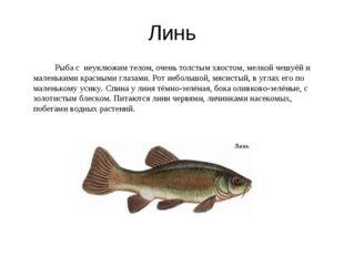 Линь Рыба с неуклюжим телом, очень толстым хвостом, мелкой чешуёй и маленьк