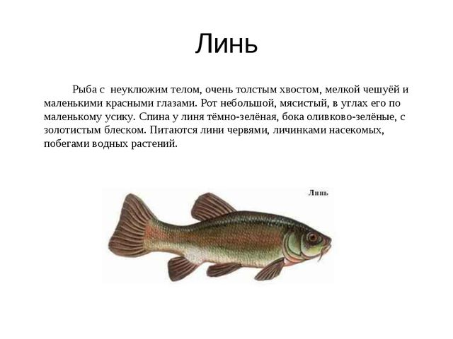 Линь Рыба с неуклюжим телом, очень толстым хвостом, мелкой чешуёй и маленьк...