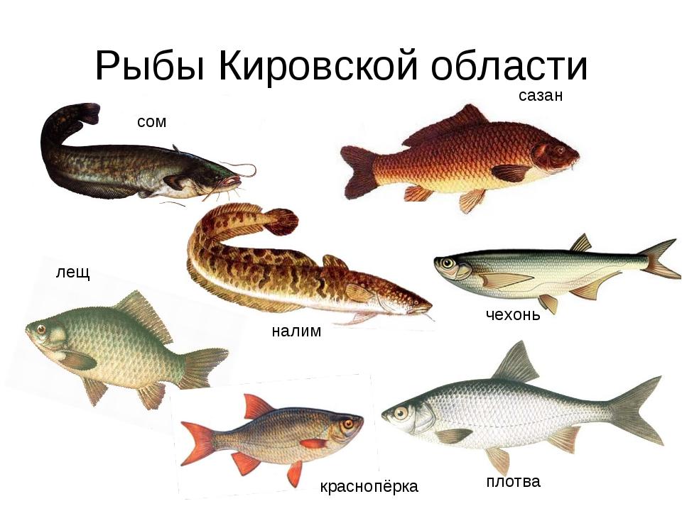 Рыбы Кировской области сом сазан налим плотва чехонь лещ краснопёрка
