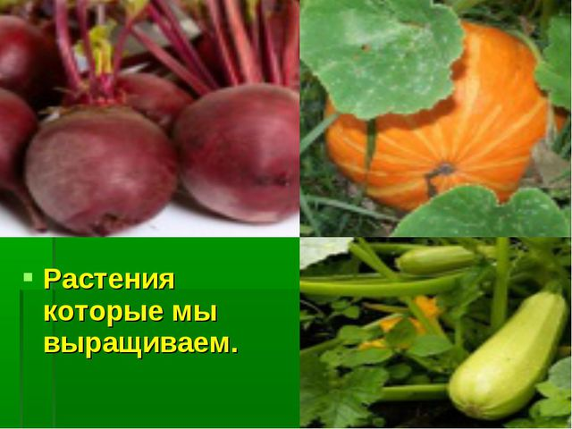 Растения которые мы выращиваем.