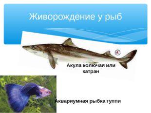 Живорождение у рыб Акула колючая или катран Аквариумная рыбка гуппи