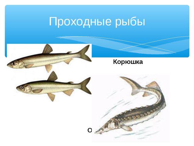 Корюшка Осетр Проходные рыбы