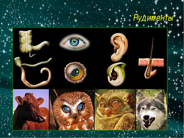 Рудименты http://900igr.net/datai/biologija/Biologija-antropogenez/0008-008-R...