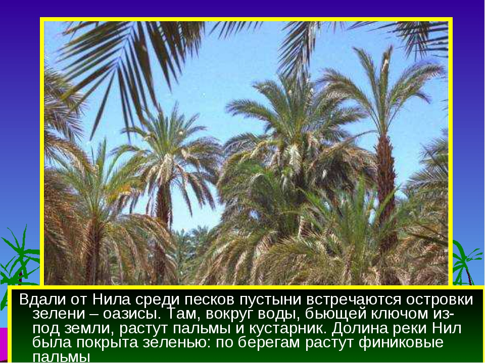 Вдали от Нила среди песков пустыни встречаются островки зелени – оазисы. Там...