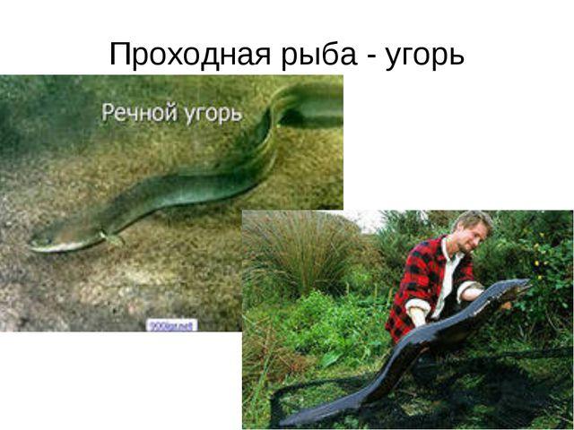 Проходная рыба - угорь