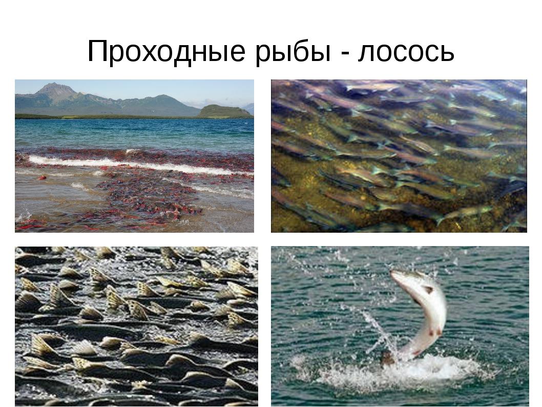 Проходные рыбы - лосось