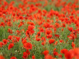 """Считается, что семена мака любят, когда землю """"беспокоят"""": они могут годами п"""