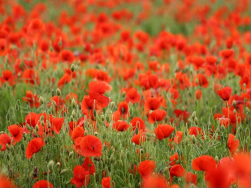 """Считается, что семена мака любят, когда землю """"беспокоят"""": они могут годами п..."""