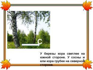У березы кора светлее на южной стороне. У сосны и ели кора грубее на северной