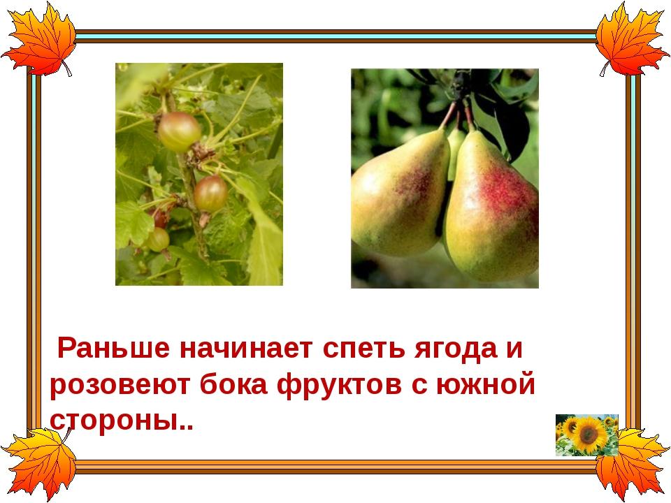 Раньше начинает спеть ягода и розовеют бока фруктов с южной стороны..