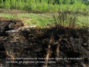 Огнем уничтожаются не только сухие травы, но и полезные растения, их корнева