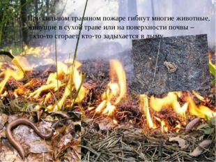 При сильном травяном пожаре гибнут многие животные, живущие в сухой траве ил