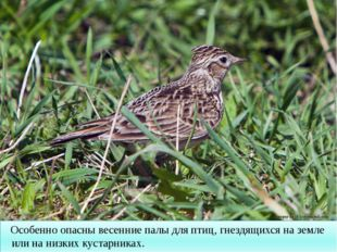 Особенно опасны весенние палы для птиц, гнездящихся на земле или на низких к