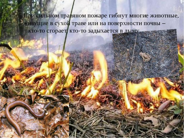 При сильном травяном пожаре гибнут многие животные, живущие в сухой траве ил...