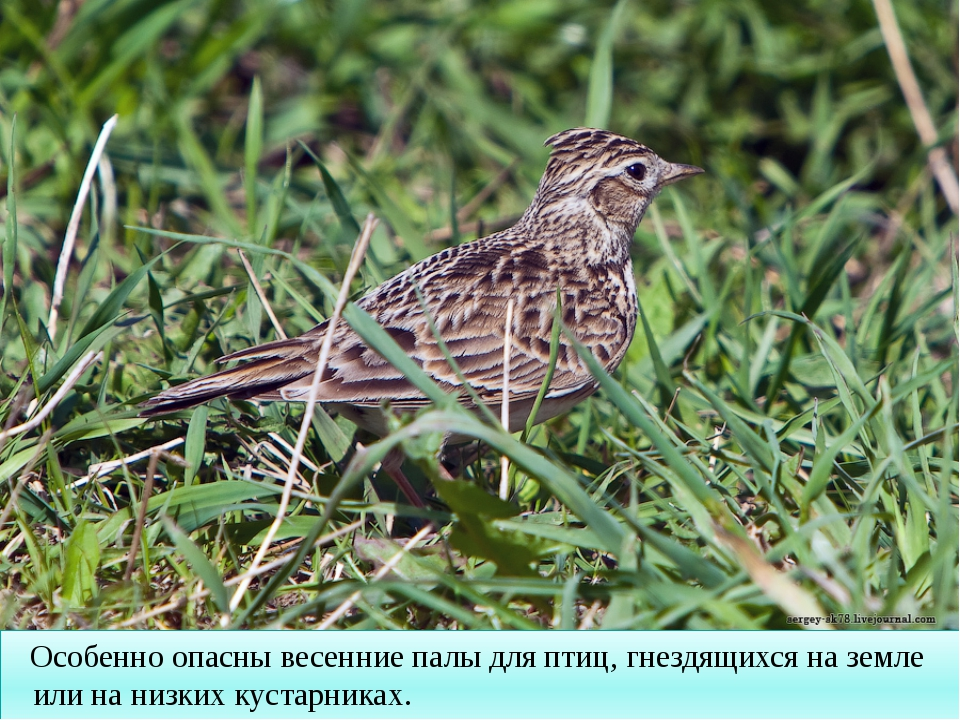 Особенно опасны весенние палы для птиц, гнездящихся на земле или на низких к...