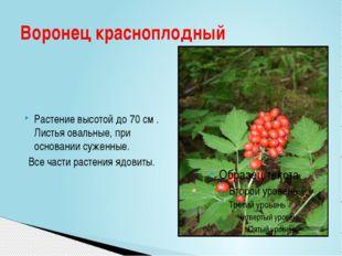 Растение высотой до 70 см . Листья овальные, при основании суженные. Все част