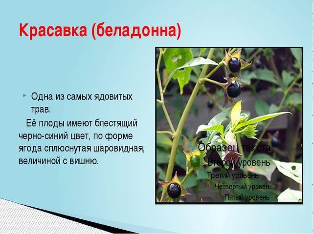 Одна из самых ядовитых трав. Её плоды имеют блестящий черно-синий цвет, по ф...