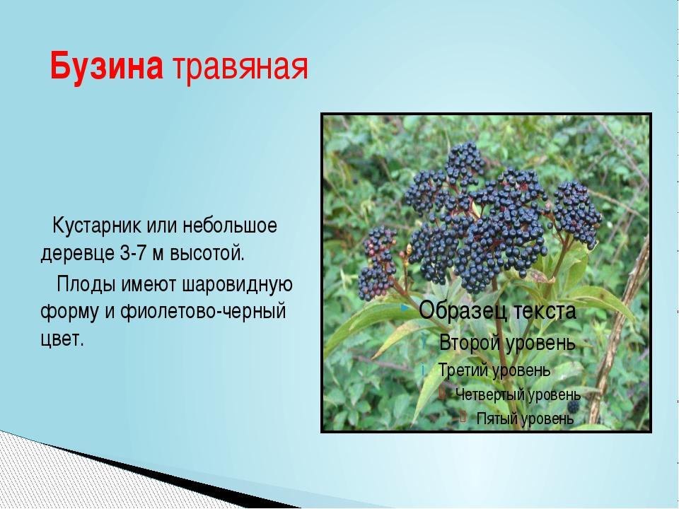 Кустарник или небольшое деревце 3-7 м высотой. Плоды имеют шаровидную форму...