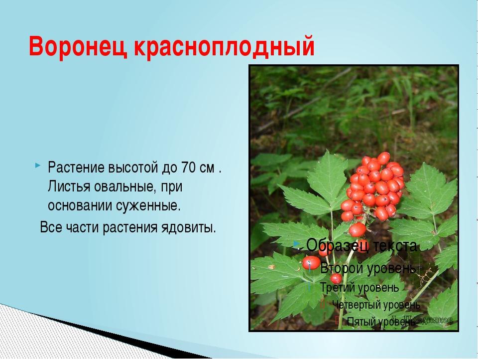 Растение высотой до 70 см . Листья овальные, при основании суженные. Все част...
