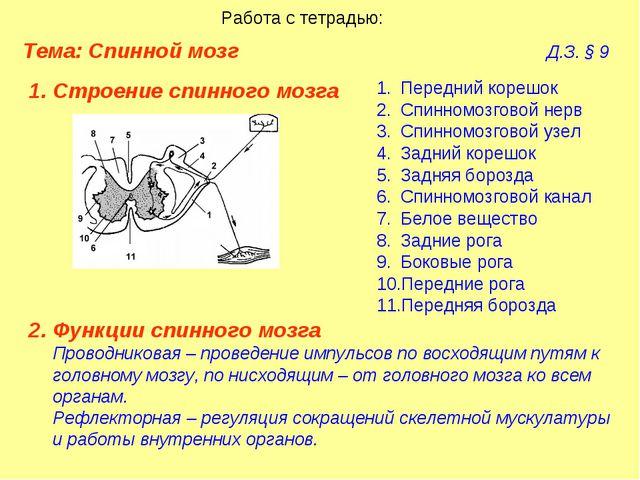 Тема: Спинной мозг  Д.З. § 9 Работа с тетрадью: Строение спинного мозга...