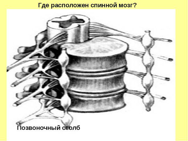 Позвоночный столб Где расположен спинной мозг?