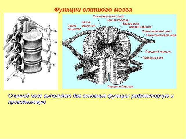 Функции спинного мозга Спинной мозг выполняет две основные функции: рефлектор...