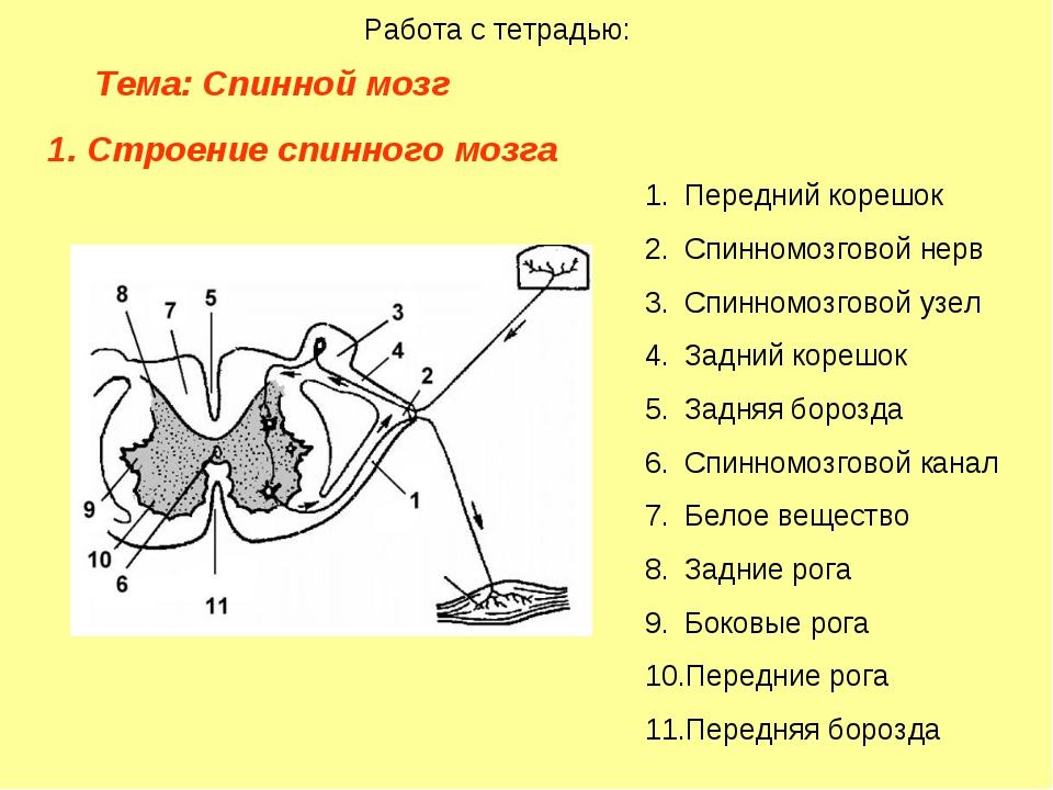 Тема: Спинной мозг  Работа с тетрадью: Строение спинного мозга Передний...