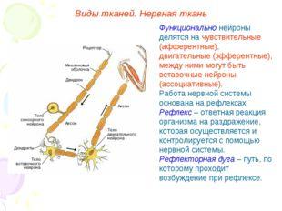 Функционально нейроны делятся на чувствительные (афферентные), двигательные (