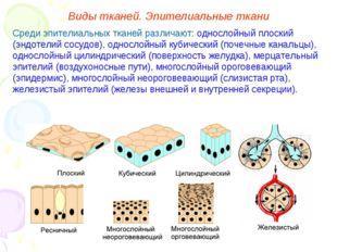 Среди эпителиальных тканей различают: однослойный плоский (эндотелий сосудов)