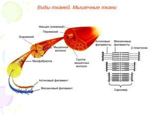 Виды тканей. Мышечные ткани