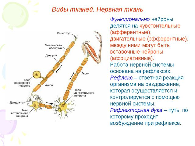 Функционально нейроны делятся на чувствительные (афферентные), двигательные (...