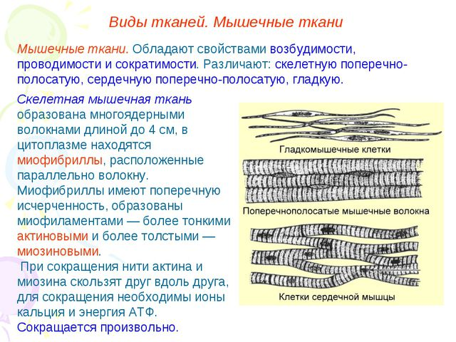 Скелетная мышечная ткань образована многоядерными волокнами длиной до 4 см, в...