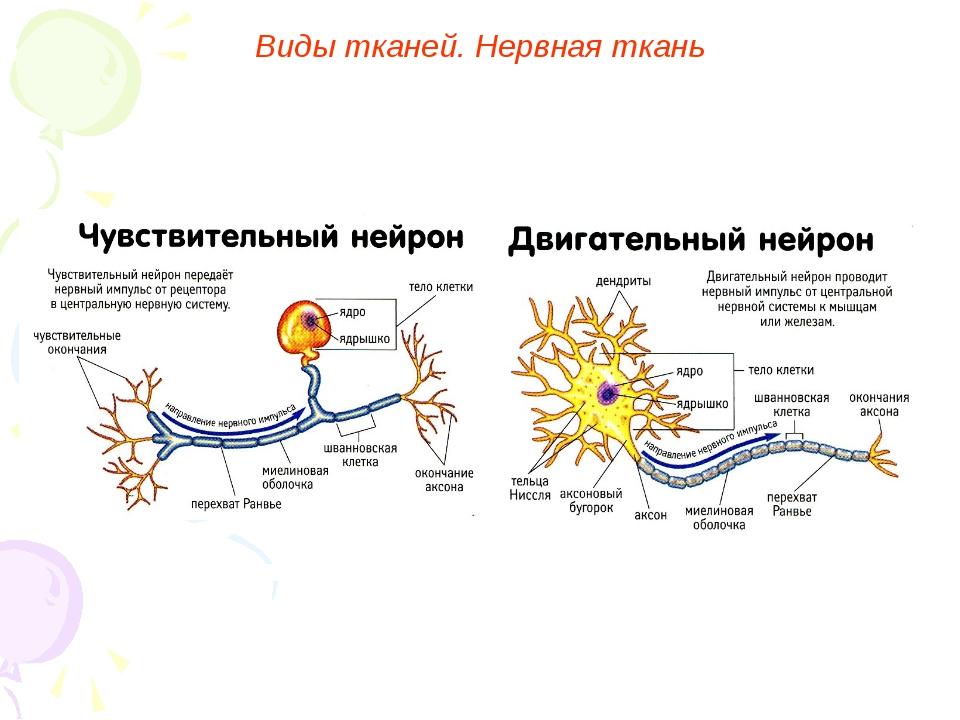Виды тканей. Нервная ткань